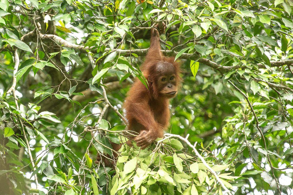 orangutans covid