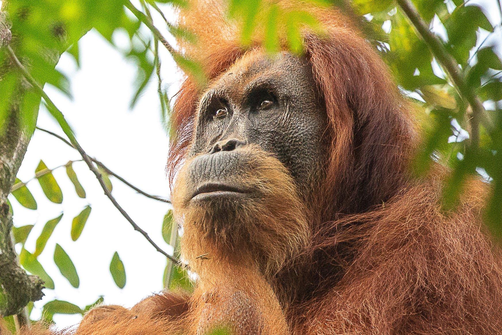 One of the Batu Kapal orangutans