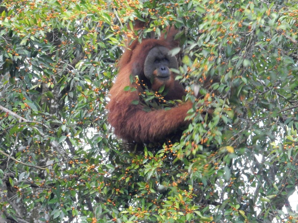 Spotting orangutans in the wild
