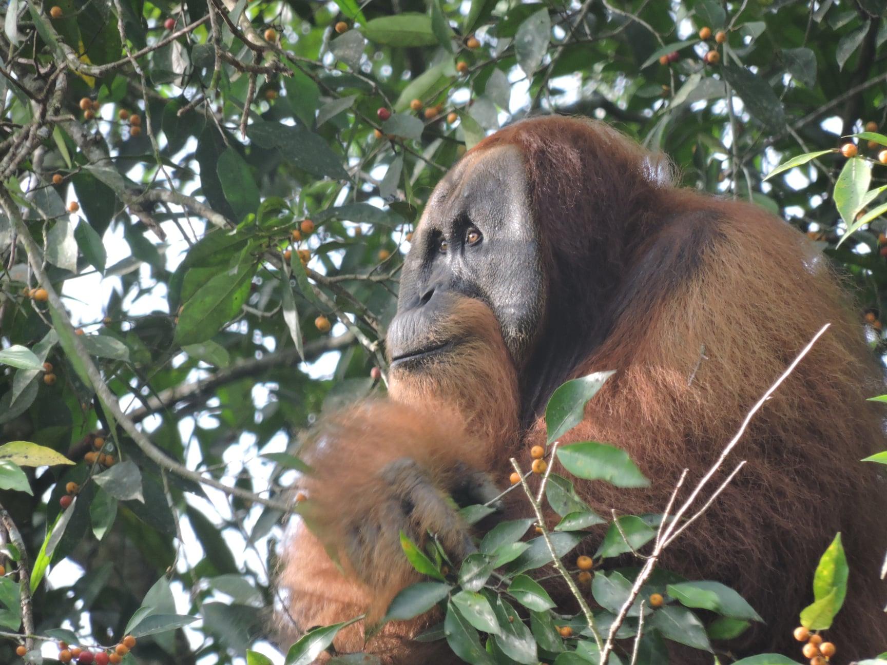 blog-tesse-orangutan2