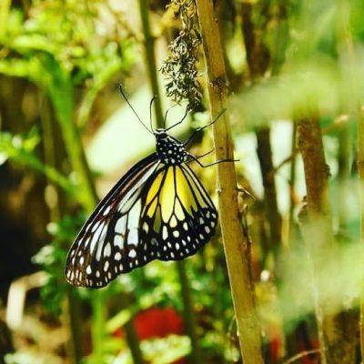batukapal butterfly
